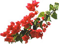 Blooming Bougainvillea at Tropical Island